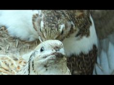 My coturnix quail is broody and sitting her own eggs. Codorniz cubriendo...