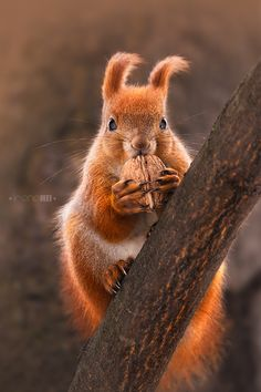 ~~Furry Ears ~ red squirrel snacking! by Irene Mei~~