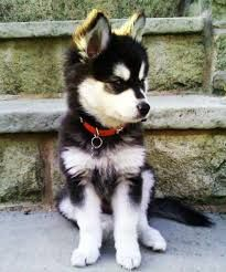 People oftentimes want something that can suit in their family a pet that could become a perfect indoor companion and there is one breed that is capable and its name is miniature husky. Husky Mix, Husky Breeds, Dog Breeds, Husky Dog Names, Alaskan Klee Kai Puppy, Miniature Husky, Husky Colors, Husky Facts, Husky Adoption