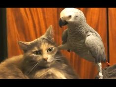 I love this first bird so much - it's almost too much!  Parrots Annoying Cats Compilation