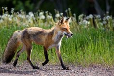 Red Fox by pinball_pw - Paul