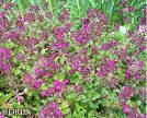 Added a Thymus praecox 'Ruby Glow' close to the edge of my stonewall bed on 6/21/14