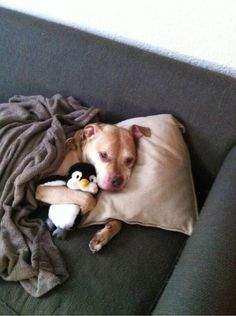 A pitbull and his penguin.  So cute.....