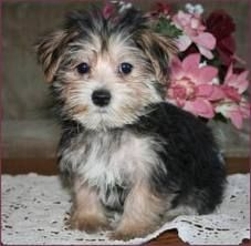 morkie!? -wow, i'm gonna need this adorable thing <3 maltese & yorkie mix :)