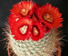 Parodia sanguiniflora exotic flowering color rare cacti is going up for auction at  5pm Fri, May 10 with a starting bid of $1.
