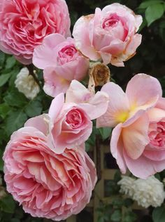 Rose Sales Online - ABRAHAM DARBY - DAVID AUSTIN CLIMBING ROSE, $21.50 (http://www.rosesalesonline.com.au/abraham-darby-david-austin-climbing-rose/)