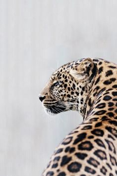 Recommended by http://koslopolis.com - New York City Online Magazine - Leopard  #fauna #animals