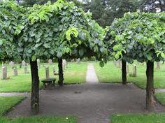 Ulmus horizontalis buy as std.  Great shade tree