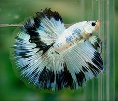blue and white bettas | White and blue fancy