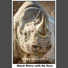 Close up Black rhino with No Ears  Etosha National Park  Namibia Africa  More images and video http://ift.tt/1PSxMR6  #Rhino #Blackrhino #Africa #Etosha #Namibia #Africanrhino #Wildlife #Nature #Animal #Animals #animalplanet #animalsofinstagram #animalprint #animallovers #wildlife #wildlifephotography #instagood #instagram #instatravel #instapic #instaart #instashot