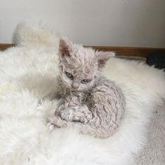 Cute Cats And Kittens, Baby Cats, I Love Cats, Selkirk Rex Kittens, Curly Cat, Curly Haired Cat, Rex Cat, Sphynx Cat, Beautiful Cats