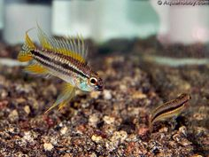 ... about apisto on Pinterest Cichlids, Freshwater fish and Popular