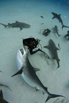 i wouldn't be putting my hand that close to the mouth of a tiger shark.