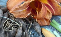 Daylilies can be found in the wild in late spring/early summer.  The buds, flowers, and tubers are edible.