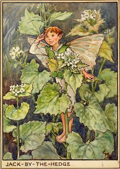 The Jack-By-The-Hedge Fairy - Flower Fairies of the Wayside