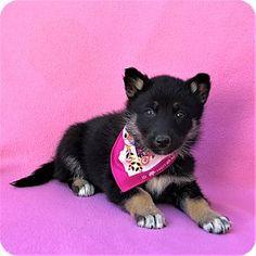 Burbank, CA - German Shepherd Dog/Husky Mix. Meet Onyx 981-020-019-738-535, a puppy for adoption. http://www.adoptapet.com/pet/17679317-burbank-california-german-shepherd-dog-mix