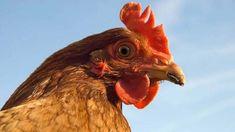 Parasites are common passengers inside your poultry. Les Parasites, Vet Clinics, Chicken Runs, Earthworms, Pet Chickens, Pet Birds, Poultry, Animals, Free Stuff