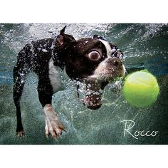 Underwater Dogs 1000 Piece Puzzle: 709786026968 | Boston Terrier | Calendars.com