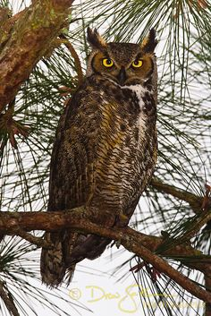 Birds of Prey - Raptor - A Great Horned Owl (Bubo virginianus) perches in a pine… Owl Photos, Owl Pictures, Owl Life, Artificial Birds, Great Grey Owl, Great Horned Owl, Beautiful Owl, Tier Fotos, Owl Art