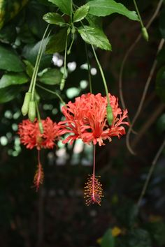 Japanese Lantern, Fringed Rose Mallow, Coral Hibiscus, Hibiscus schizopetalus - Tropical Plants - Almost Eden Hibiscus Schizopetalus, Unusual Plants, Rare Plants, Exotic Plants, Hawaiian Flowers, Hibiscus Flowers, Tropical Flowers, Cactus Flower, Rare Flowers