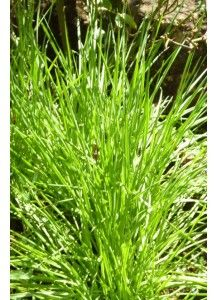 Pair lemon grass with other spices to add exotic flavor to your recipes. Lemongrass is also beneficial to cope with cough, cold and fever http://9gardens.com/index.php/lemon-grass.html
