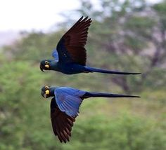 Hyacinth Macaw---worlds largest parrot, my dream bird