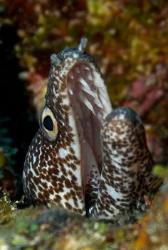 Spotted Moray Eel 3782 - Version 2 by Stephen Bateman1