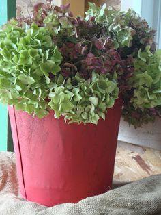hydrangeas in red sap bucket-  constancedenninger.blogspot.com