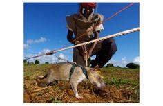 Apopo: ratten sporen mijnen en tuberculose op | Sociale innovatiefabriek