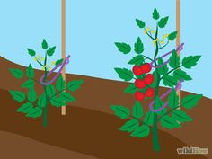 Cómo amarrar las plantas de tomate para levantarlas -- vía es.wikiHow.com