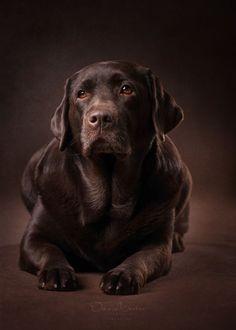 Dog House Air Conditioner Fabric of a gentleman.Dog House Air Conditioner Fabric of a gentleman Labrador Retriever Chocolate, Brown Labrador, Labrador Retrievers, Retriever Dog, Dog Breed Names, Big Dog Breeds, Lab Puppies, Cute Puppies, Cute Dogs