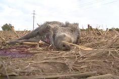 Unglaublich: Rotte mit Pkw getötet -Meldung - NEWS - jagderleben.at