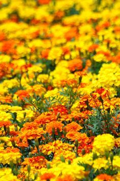 Yellow, orange marigolds - Marigold flowers are known to give away a strong scent that helps in keeping away the bugs. Organic gardeners often grow marigold around their crops and plant to keep aphides and mosquitoes away. Jordan would love the orange Outdoor Plants, Garden Plants, Outdoor Gardens, Sun Garden, Flower Beds, My Flower, Organic Gardening, Gardening Tips, Vegetable Gardening