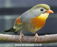 Pair of Pekin Robins For Sale - Birds For Sale With Free Advertising on Birds 4 Sale UK