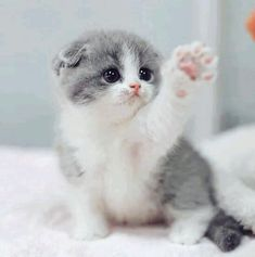 These lovely kittens will brighten your day. Cats are amazing creatures. - These lovely kittens will brighten your day. Cats are amazing creatures. Kittens And Puppies, Cute Cats And Kittens, Baby Cats, Kittens Cutest, Funny Kittens, Ragdoll Kittens, Bengal Cats, Beautiful Cats, Animals Beautiful
