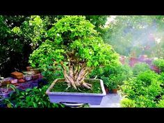 Presenting of a beautiful Murraya Paniculata bonsai - YouTube Murraya Paniculata, Bonsai Garden, Go Green, Picture Video, Cool Pictures, Channel, News, Gallery, Nature