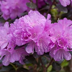 'Amy Cotta' - Rhododendron   Proven Winners