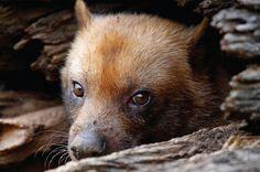 Cachorro-do-mato-vinagre (Speothos vinaticus): vive na Amazônia, Mata Atlântica e Pantanal