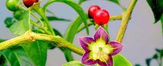 Capsicum cardenasii by chimayo