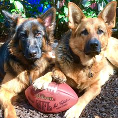 GSDs-Sulli & Finn...ready for the Super Bowl
