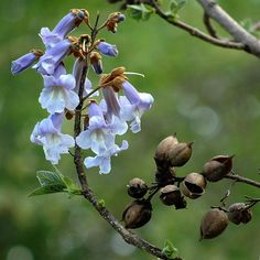 Paulownia tomentosa AGM 1 potted plant, Foxglove / Princess tree - Fragrant Specimen plant Abundant Flowers by RootGarden on Etsy