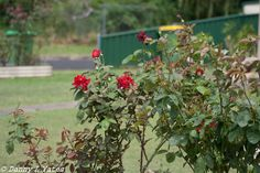 Canon 400d - 75-300 mm lens - 80mm - ISO 200 - F4 - 1/1250 - Late morning / early afternoon - lightly overcast - tripod - front yard - 12/02/2015