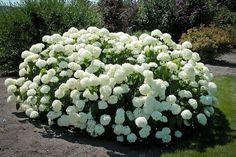 Pestovaniu hortenzií sa venuje 20 rokov: Toto je kľúč k bujarému kvitnutiu od jari až do jesene - aj staršie rastliny sa obsypú kvetmi!