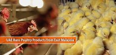 UAE Bans Poultry Products from East Malaysia Uae, Poultry, Products, Backyard Chickens, Gadget