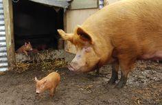 pig-and-piglet.jpg (JPEG kép, 550×358 képpont)
