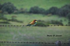 Un #Abejaruco posado en una alambrada en el #Parque #Natural del #Estrecho Bird, Animals, Natural Playgrounds, Birds, Animaux, Animales, Animal, Dieren