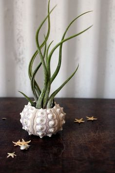 Gives the feeling of a jellyfish, using a sea urchin's skeletal shell and planting in an air plant, looks cool.