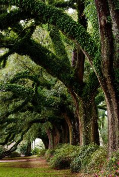 Most Majestically Trees In The World! Amazing Line of Ancient Oak Trees Out The Most Majestically Trees In The World! Amazing Line of Ancient Oak Trees Tree Tunnel, Nature Landscape, Urban Landscape, Old Trees, Nature Tree, Tree Forest, Oak Forest, Parcs, Plantation