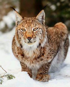 Lynx by Stefan Betz