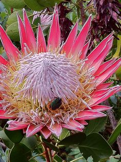 Flora of South Africa, Protea by Tina Wilson